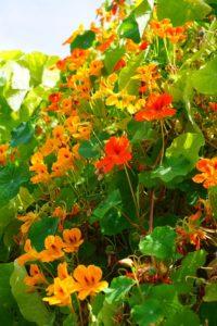 Spiselige blomster - Akvaponisk Have